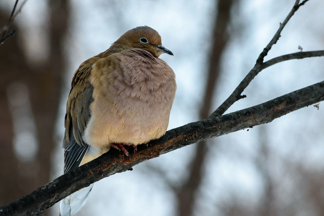 Close-Up Of Mourning Dove Perching On Branch
