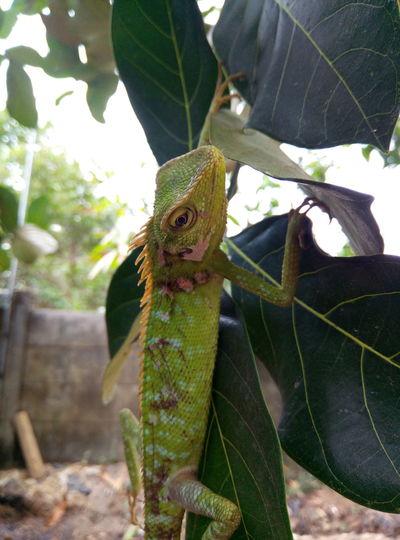 iguana di daun nangka Iguana Reptile Chameleon Tree Lizard Close-up