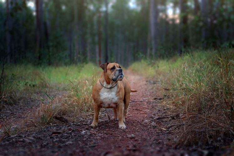 Australian Bulldog Animal Animal Themes Australia Brown Bulldog Day Dog Domestic Animals Field Focus On Foreground Forest Mammal Nature No People Outdoors Pets Portrait Selective Focus