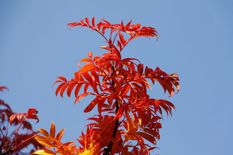 Low angle view of red plant against clear blue sky