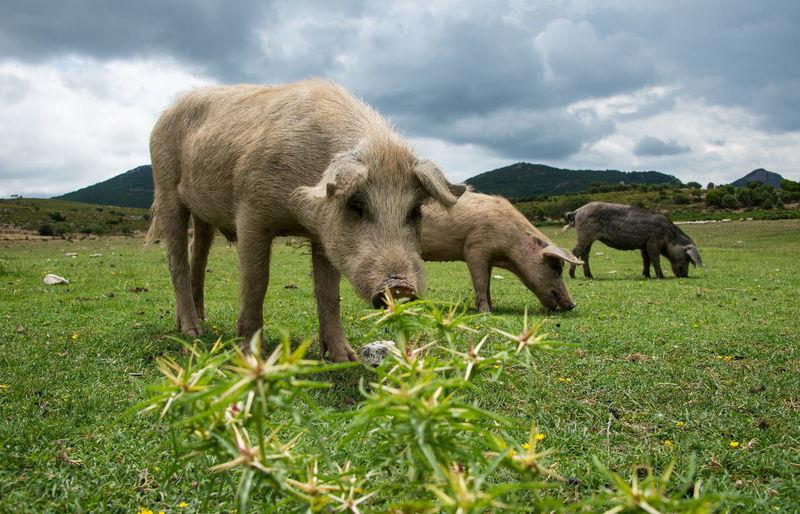 Italien Italien Italien Italy Nature Nature Photography Sardinien Schwein Animal Wildlife Feelings Natur Pur WoodLand Pick Schwein Schweine Wiesenblume Wiesenkräuter
