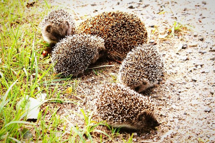 Grass Animal Themes No People Outdoors Day Nature Animals In The Wild Beauty In Nature Hedgehog Hedgehogs On The Road Hedgehog In My Garden . Close-up Nature Grass Animal Wildlife Summer Photography Baby Hedgehog Mother Hedgehog