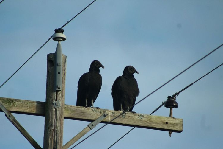 Low Angle View Of Ravens Perching On Electricity Pylon Against Sky