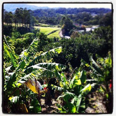 Banana Bananaland Fruit Gofruityourself coffs coastal farm