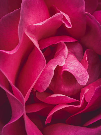 Close-up of pink rose