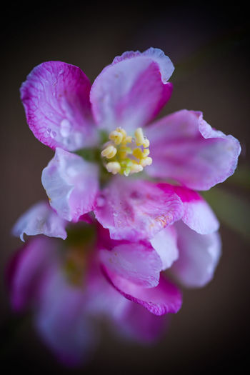 Close-up of pink rose flower against black background