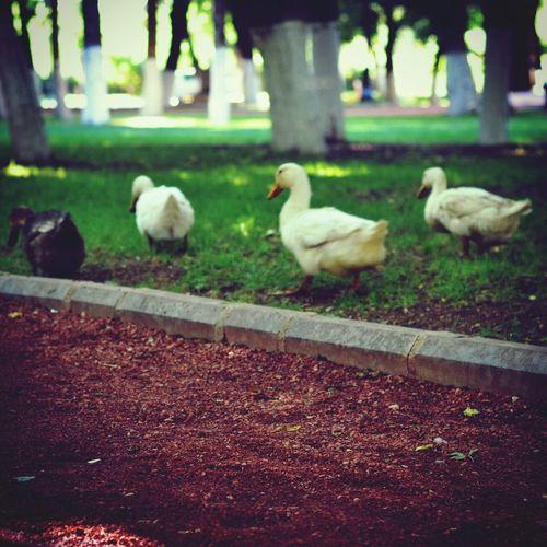 Park ördekleri Duck Ordek Ente Ihcetinkaya