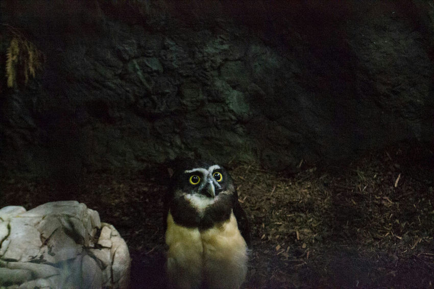 Owl OWL Shoot Owl Portrait. Owl Photography Animal Themes