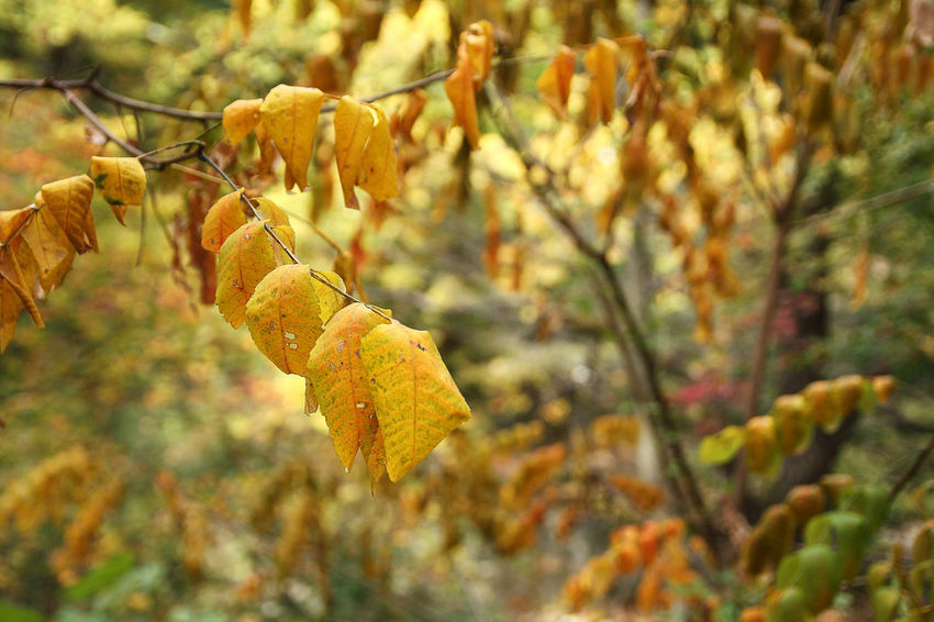 EyeEmNewHere Mountain, October Tree Tree Branches Autumn Autumn In Korea Beauty In Nature Change Chilly Weather Close-up Day Dead Leaves In The Forest Focus On Foreground Leaf Nature No People Outdoors Plant Yellow Yellowing Leaves