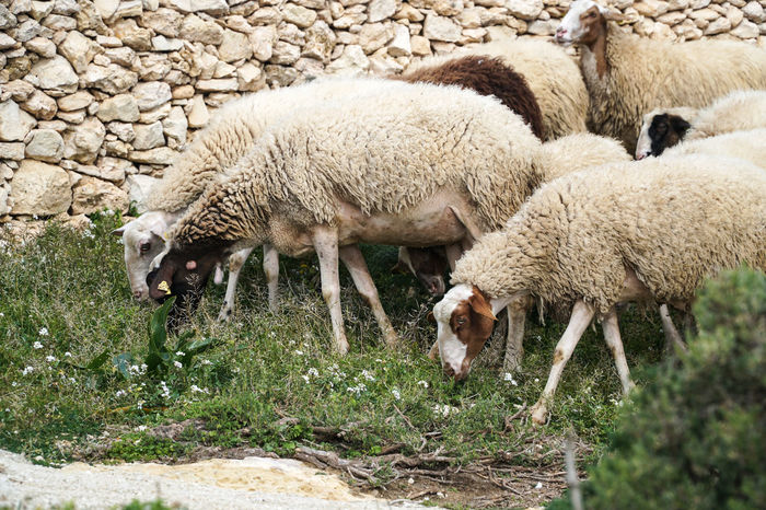 Group of sheeps in field Agriculture Animal Animal Themes Breed Close Up Countryside Domestic Domestic Animals Eating Ewe Farm Fleece Fluffy Grass Group Lamb Livestock Mammal Nature Nature Portrait Sheep Sheepherd Sheeps Walking
