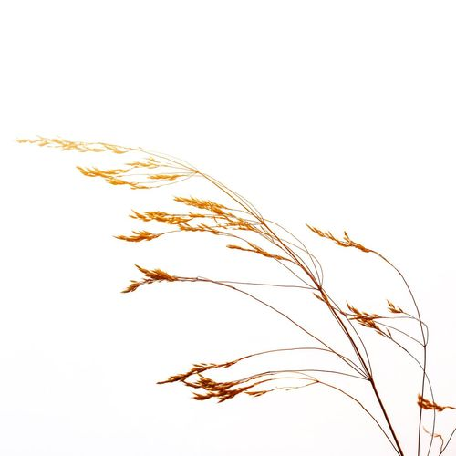 Cereal Plant Wheat Barley Plant Nature White Background Agriculture Rye - Grain No People Close-up Whole Wheat Wholegrain Ear Of Wheat Particle