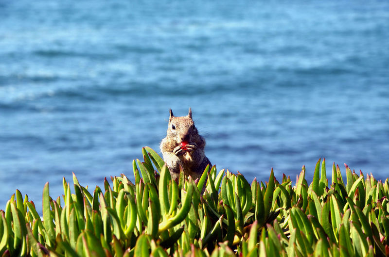 Animal Animal Themes Animals Animals In The Wild Animals In The Wild Beauty In Nature Close-up Eating Food Growth Mammal Nature One Animal Outdoors Plant Sea Squirrel Water Been There. La Jolla United States La Jolla Beach La Jolla, California Lost In The Landscape Food Stories California Dreamin