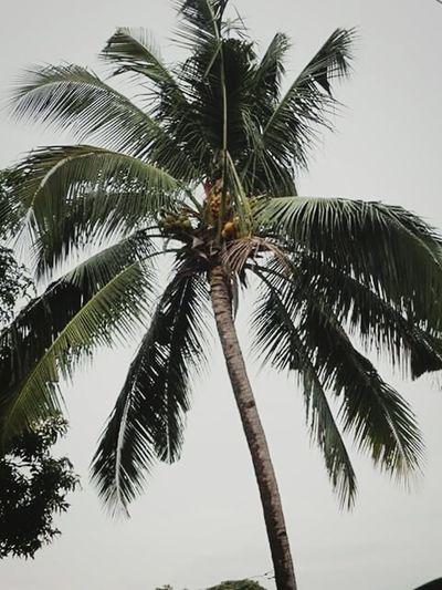 coconut tree First Eyeem Photo