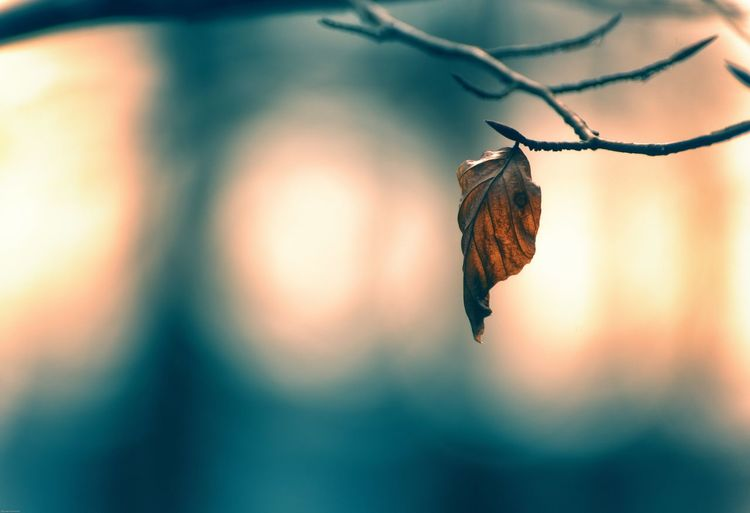 Close-up of dry autumn leaf on twig