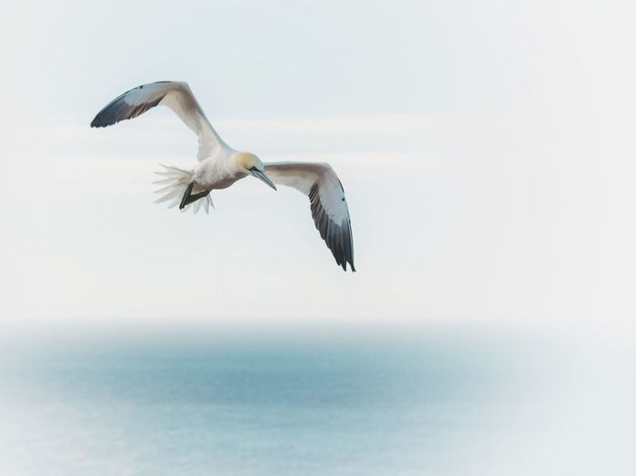 Low angle view of gannet flying over sea against sky