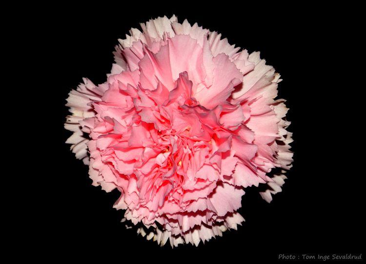 Photoart Creativephoto Flower Pink Black Background Pink Color Studio Shot No People Indoors  Close-up