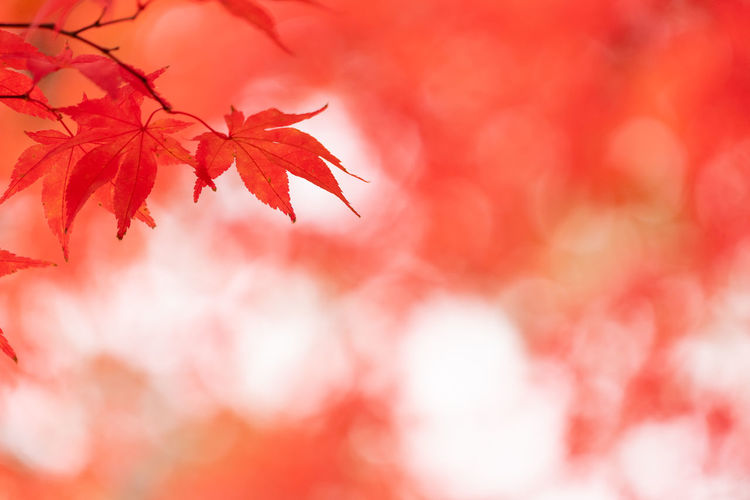 Leaf Plant Part Red Autumn Beauty In Nature Nature No People Maple Leaf Selective Focus Change Plant Backgrounds Tree Close-up Branch Maple Tree Outdoors Orange Color Day Tranquility Leaves Natural Condition