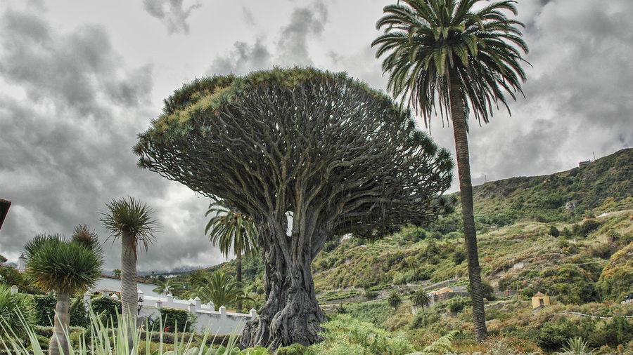 "Beauty In Nature Canarias Drago Milenario - Der ""Tausendjährige"" Drachenbaum Von Icod De Los Vinos, Teneriffa"" Nature Palm Tree"