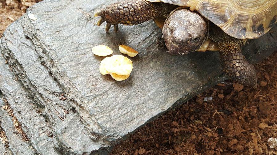 Russian Tortoises Russian Tortoise Family Pet Tortoise Pancakes Shell Pet Portraits