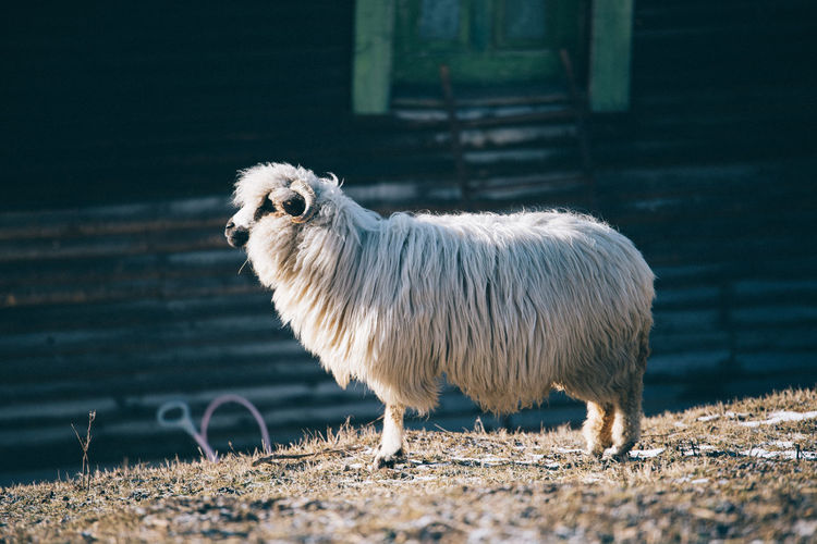 Close-up of sheep standing outdoors