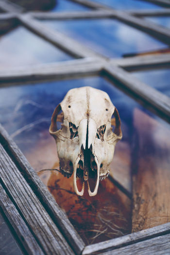 Close-Up Of Animal Skull On Glass