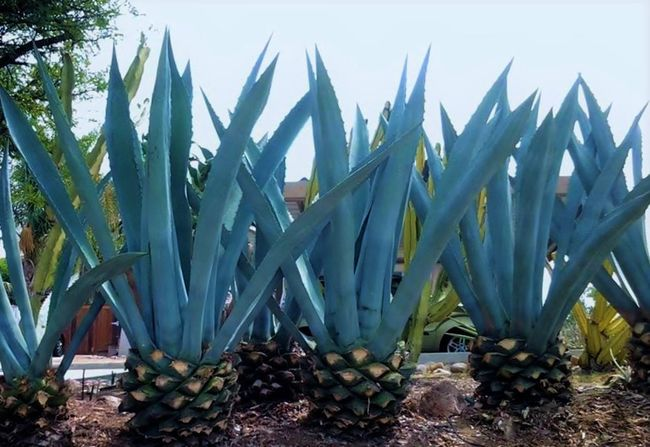 I see 'giant pineapples' Agave Arid Landscape Desert Plants Garden Photography Giant Giant Agave Plants And Flowers Plants Collection