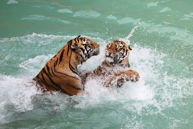 Tigers fighting Animal Themes Animal Wildlife Animals In The Wild Day Fight Mammal Nature No People Tiger Water