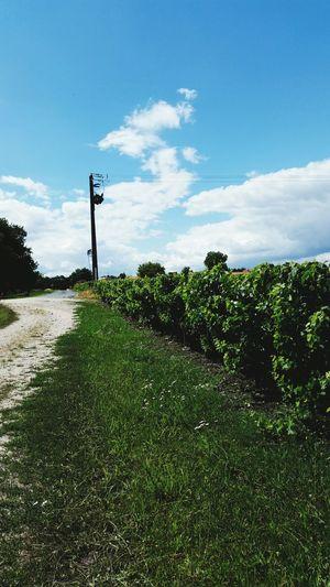 South Château Vineyard Hot Summer