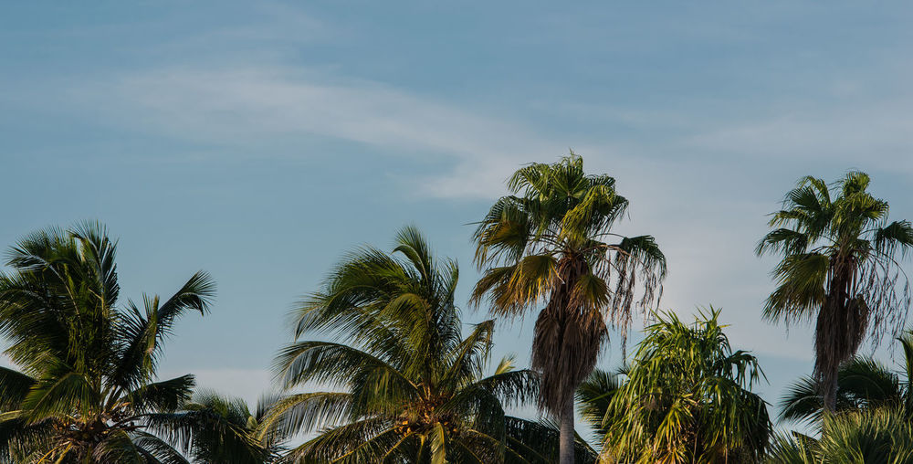 Palm on cuba varadero
