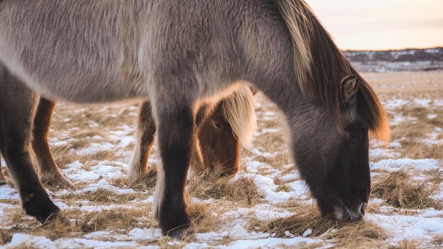 The iconic icelandic horse