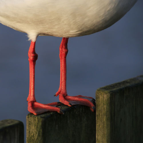 Bird Blackheaded Gull Cropped Drumstick No People Part Of Red Red Color