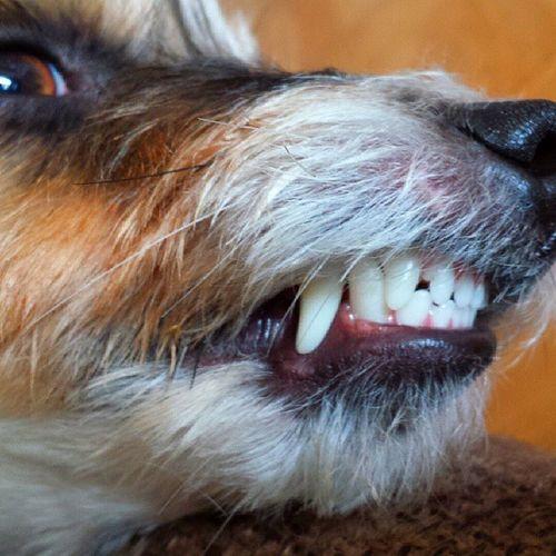 I see you! Dog DogLove Jackrussell Jackrusselllove jack cool halmstad halland