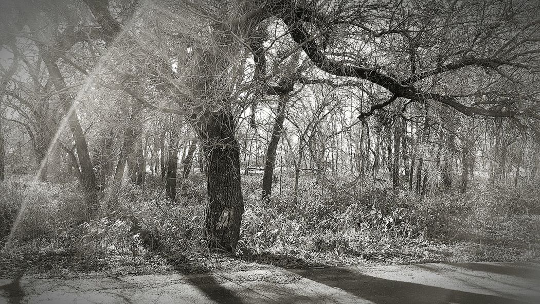 EyeEm Nature Lover nature tress black and white abstract Tree Shades Of Grey Shadows & Lights Mysterious Shapes California Northern California Samsung Galaxy Smartphonephotography Beauty Everywhere Outdoors Clean Air Return To Nature Light And Shadow Light Flares Shadows Atmosphere Atmospheric Mood Light Escape