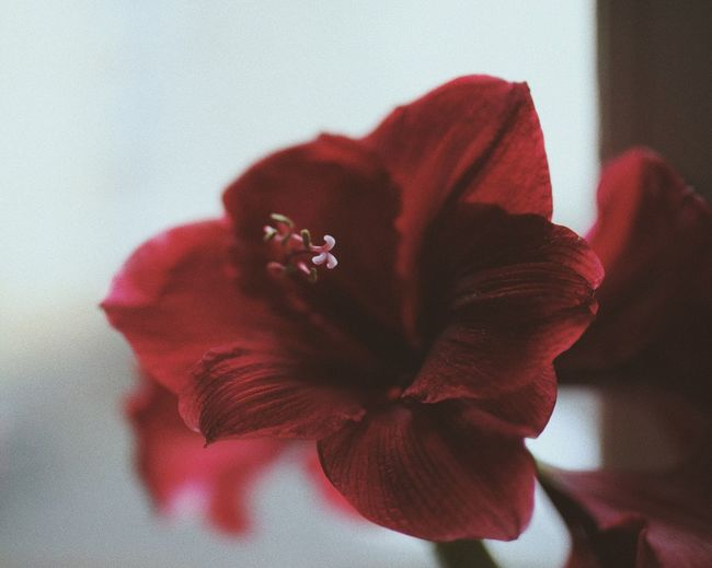 Blossoming The Week on EyeEm VSCO Cam Flower Macro Minimalistic Minimalism EyeEm Nature Lover EyeEm Best Shots Flower Petal Red Beauty In Nature Fragility Flower Head Nature Freshness Close-up No People Hibiscus Growth Day Lily Indoors