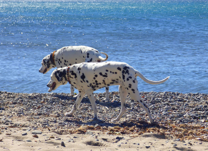 Dalmatians Walking At Beach