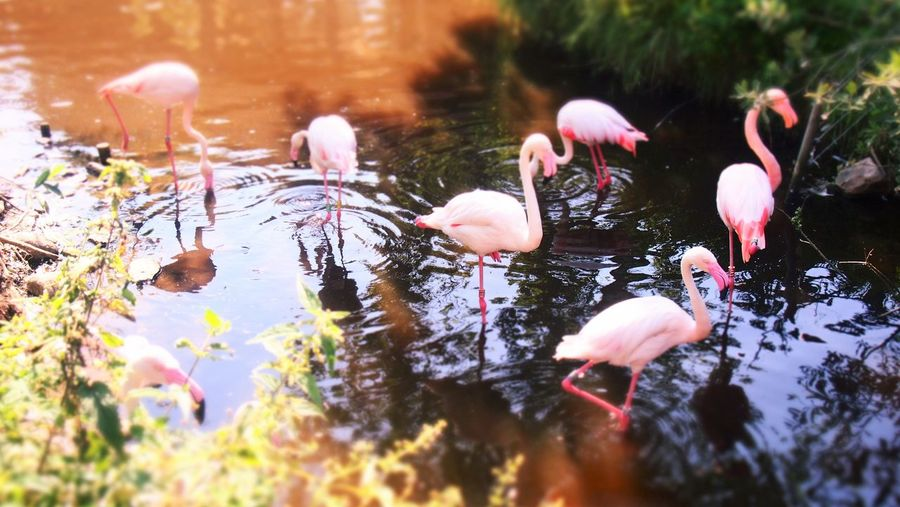 Flock of pink flamingoes in water