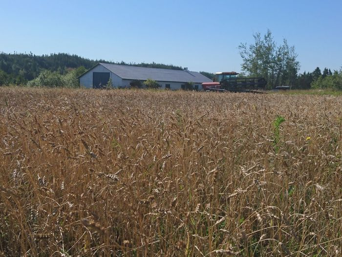 Wheatfield Rural Scene Agriculture Field Barn Cultivated Land Beauty In Nature My Point Of View Close-up Goldenfield