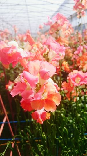 in bloom Atok,