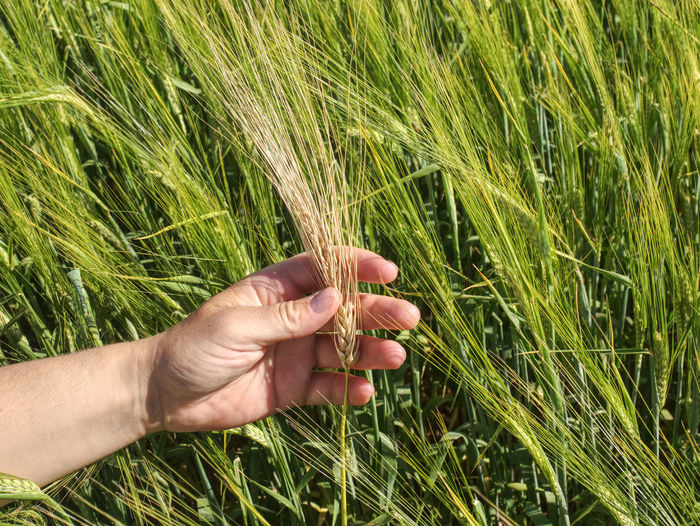 Man big hand touch corn in field. young green barley or wheat corns growing in a field