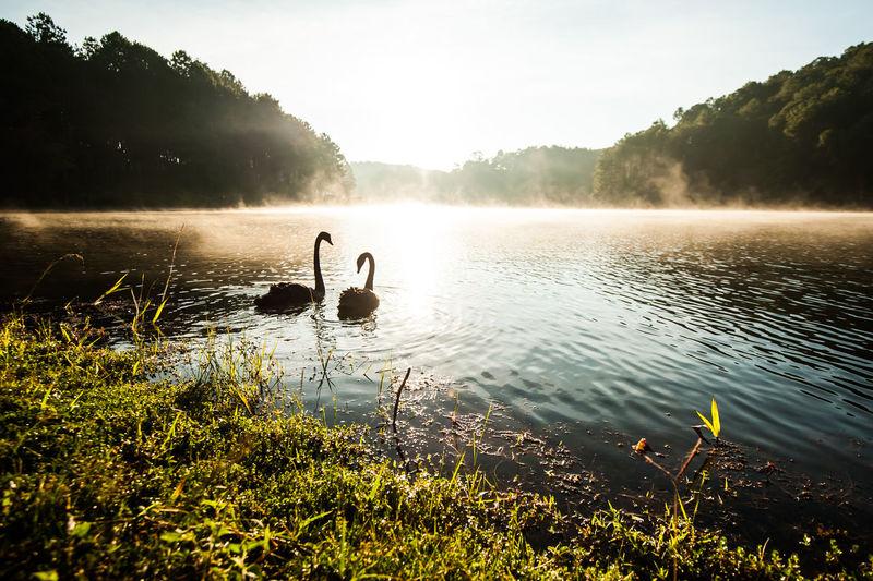 Swan swimming in lake against sky