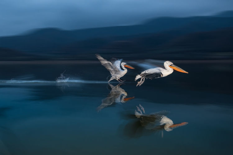 Adobe Photoshop AdobeLightroom FUJIFILM X-T2 Adobe Animal Animal Photography Animal Themes Animal Wildlife Animals In The Wild Bird Flash Photography Flying Fujifilm Fujifilm_xseries Greece Kerkini Lake Motion Pelican Pelican Landing Reflection Spread Wings Vertebrate Wildlife The Great Outdoors - 2018 EyeEm Awards