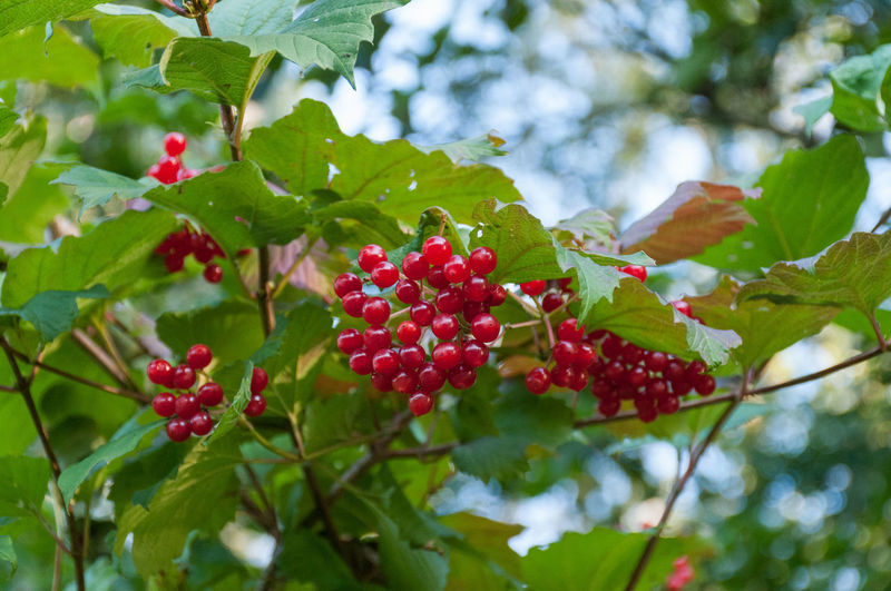 Low angle view of red currant growing outdoors