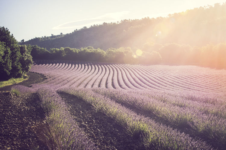 Lavender field in provence France Lavender Field Provence Sunlight Agriculture Beauty In Nature Farm Field Flare Idyllic Land Landscape Lavender Nature No People Outdoors Plant Plantation Rural Scene Sunlight Tranquil Scene Tranquility Valensole