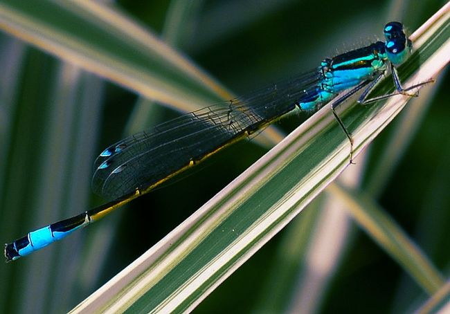 insect close-up no people beauty in nature Damselfly SuperMacro Freshness Green Color