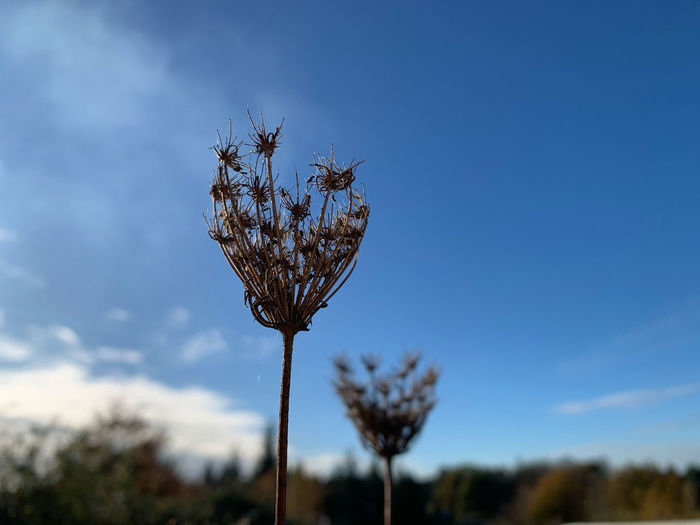 Close-up of flowering plant on field against blue sky