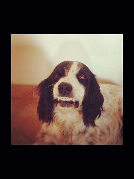 Dog Smile English Setter Setter Anglais