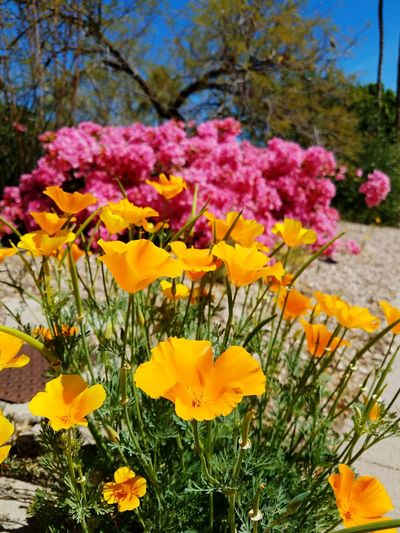 Some of the older neighborhoods have some of the best plants! Flowered Yard Rocks And Flowers Mexican Poppy Bougainvilleas Beauty In Nature Growth Flower Head Petal Orange Color Yellow Color Freshness Fragility No People Outdoors Plant Blooming Close-up Day