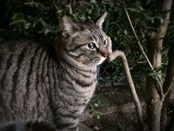 夜ねこ Cat キジトラ 野良猫 Stray Cat