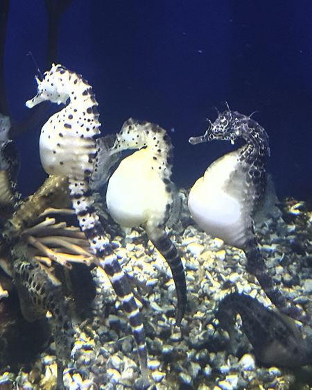 Animal Themes Animals In The Wild One Animal Pack Of Sea Horse Sea Seahorses Swimming This Horse 35 Underwater