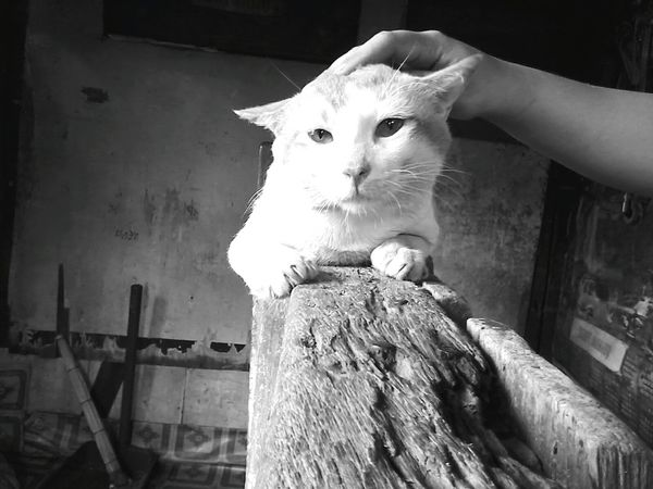 Catfromhell Angrycat Indoors  Mammal Domestic Cat Domestic Animals Blackandwhite Photography